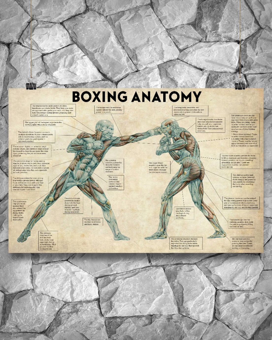 Boxing anatomy poster - Picture 1