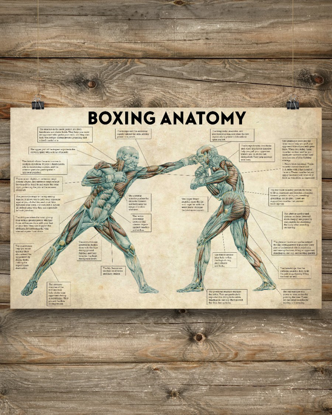 Boxing anatomy poster - Picture 2